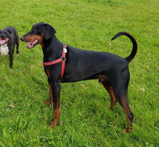 dobie rescue charity rehome