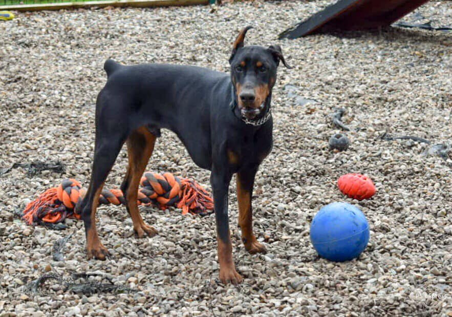 dobermann doberman dobe dobie rescue charity rehome